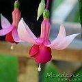 fuchsia Mandarin #fuchsia #fuksje #kwiaty