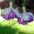 fuchsia Michiels Lut #fuchsia #fuksje #kwiaty