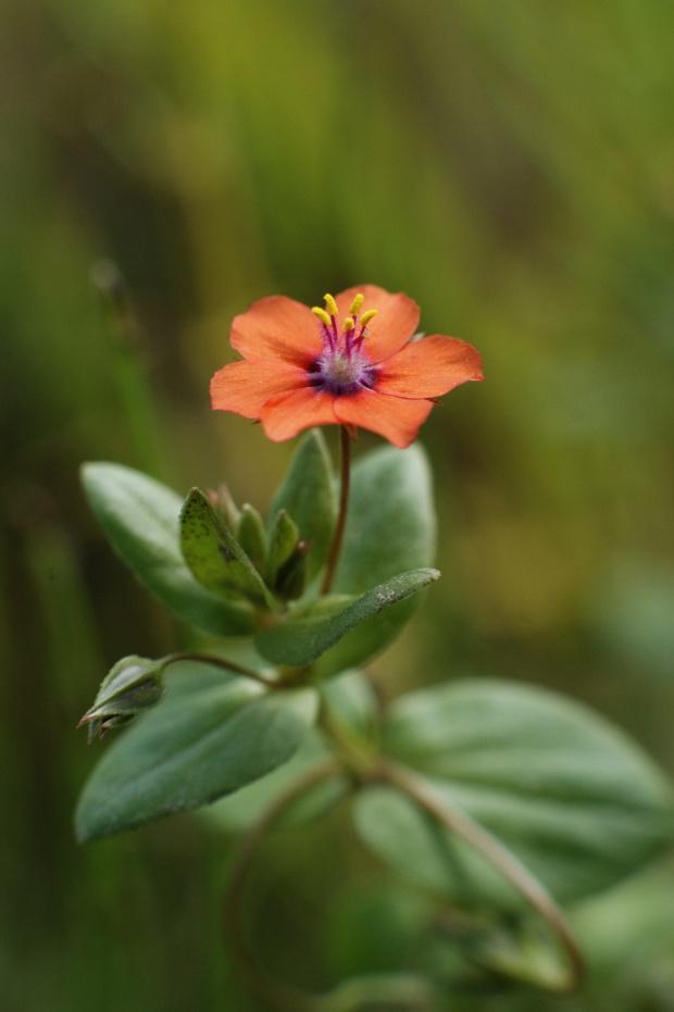 Kurzyślad polny #kwiat