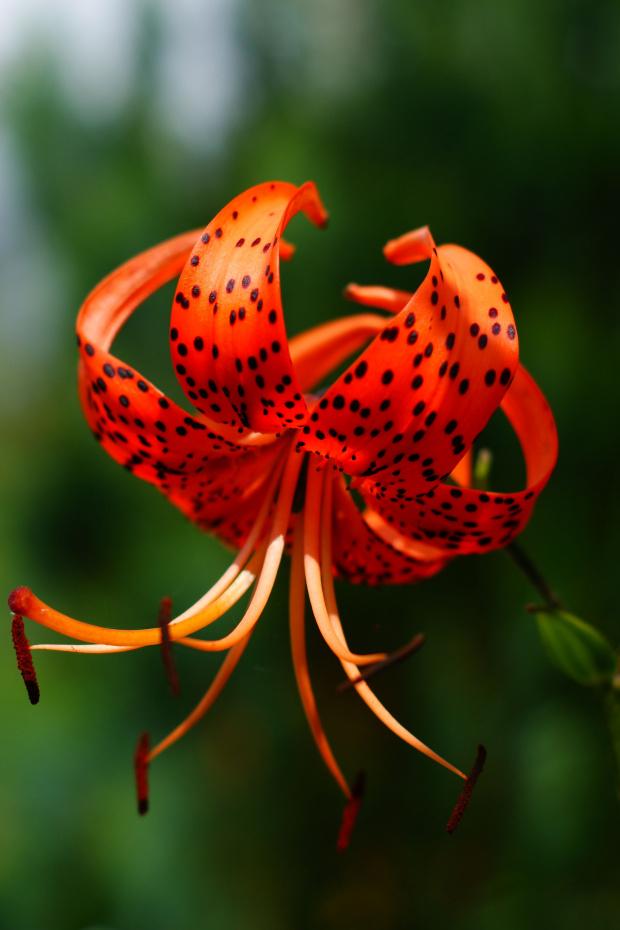 Lilia #kwiat
