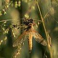 Prawie motyl #Owady