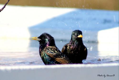 W upalny dzień biorą kąpiel:)