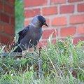 Krakowska wrona #Kruk