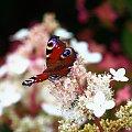 #kwiaty #lato #łąka #Motyl #owady #rusałka