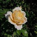 Lion Rose #róże