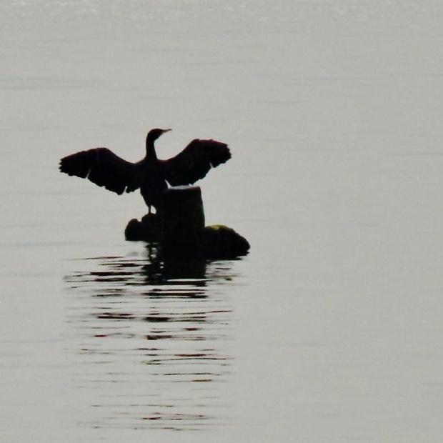 z otwartymi ramionami... #ptak #kormoran