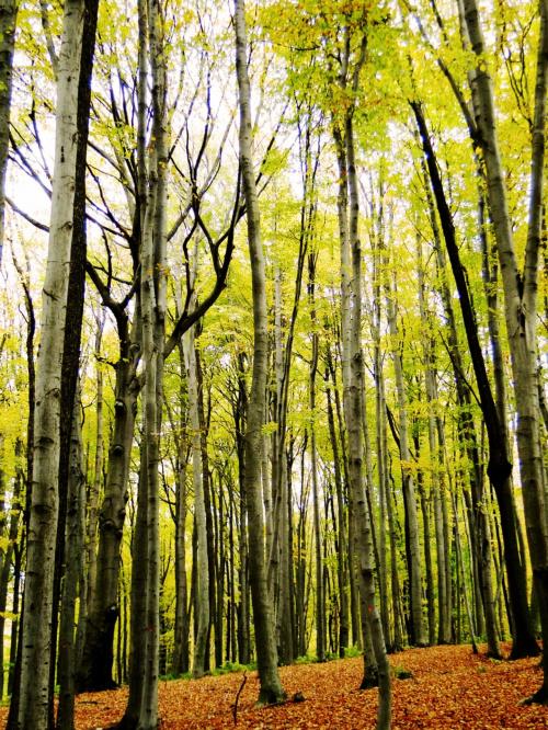 Las bukowy w jesiennej szacie.