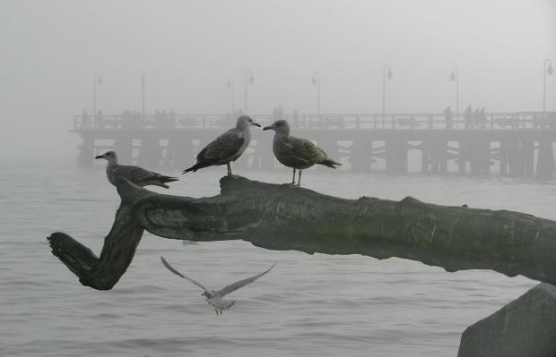 ach! te wizyty w Orłowie - wszystkie mewki to lubią #mewa #mgła #ptaki #Orłowo #molo