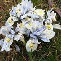 #irys #irysy #kwiaty #wiosna