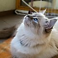 my ragdoll cats #koty #KotyRasowe #ragdoll
