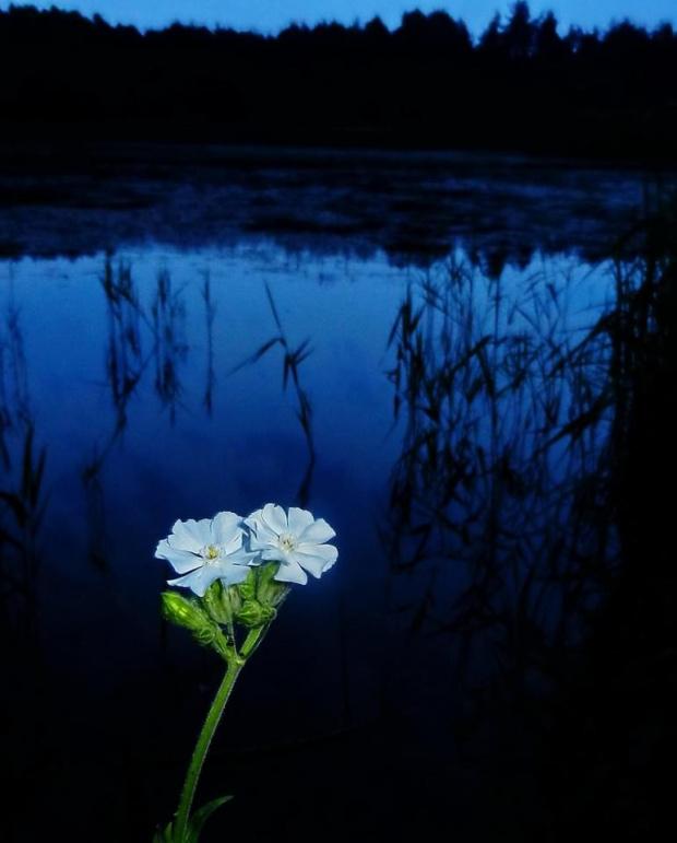 bniec biały raz jeszcze - w podwojeniu, bo to jedna Bajka i jeden Smyk na wspólnej łodydze rozdwojonej dopiero co... #biec #kwiat #noc #woda